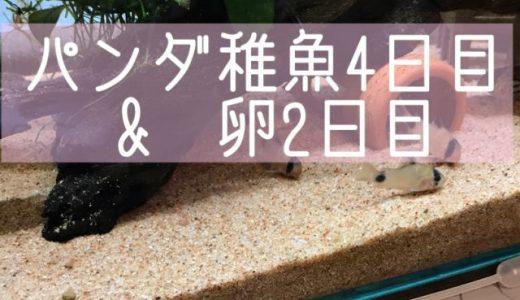 パンダ稚魚4日目&卵2日目♪