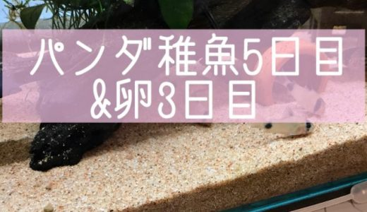 パンダ稚魚5日目&卵3日目!