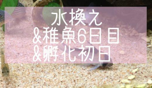 水換え&パンダ稚魚6日目&孵化初日
