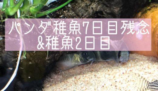 パンダ稚魚7日目&稚魚2日目