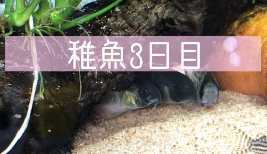 稚魚3日目
