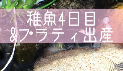 コリドラス稚魚4日目&プラティ出産