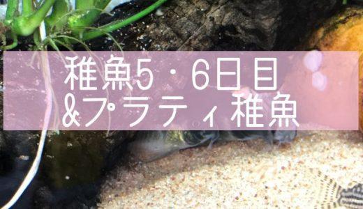 コリドラス稚魚5・6日目&プラティ稚魚