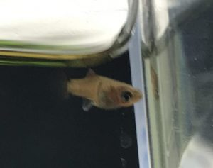 プラティ稚魚